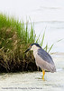 Black-Crowned Night Heron at the Edwin B. Forsythe National Wildlife Refuge