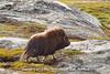 Muskox at Renodde, Scoresby Sund, Greenland