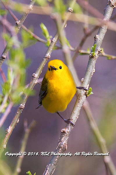 Prothonotary Warbler adult male at the John Heinz National Wildlife Refuge at Tinicum