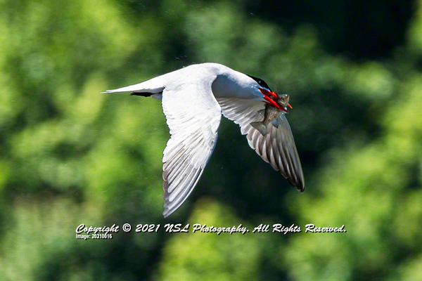 Caspian Tern (adult, breeding) flying with a White Perch in its mouth at the Bombay Hook National Wildlife Refuge