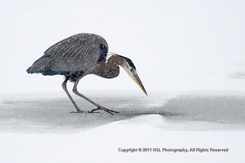 Great Blue Heron during a winter snow storm at the John Heinz National Wildlife Refuge at Tinicum