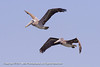 A pair of Brown Pelicans at Barnegat Lighthouse State Park