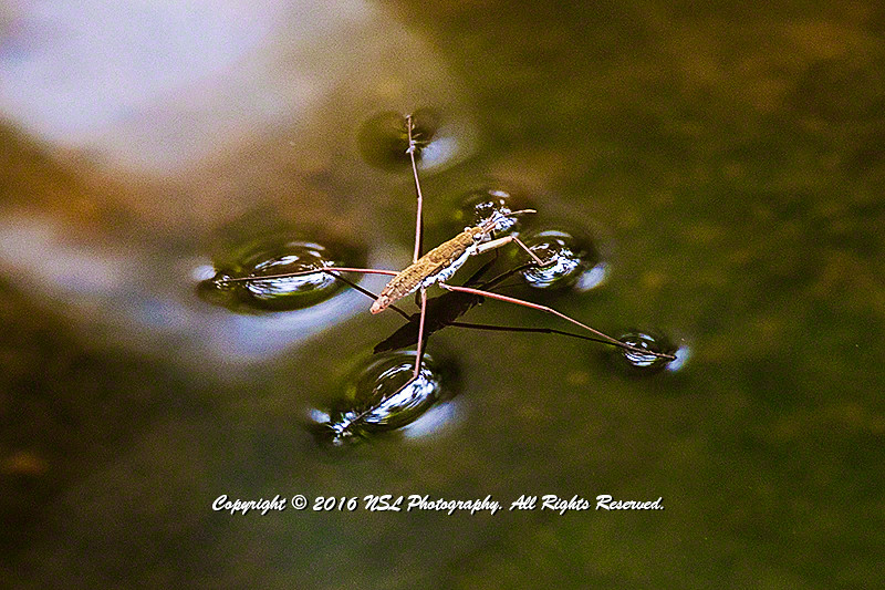 Adult water strider (Aquarius remigis) at Chanticleer Gardens