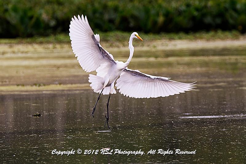 Great Egret just before landing at John Heinz National Wildlife Refuge at Tinicum