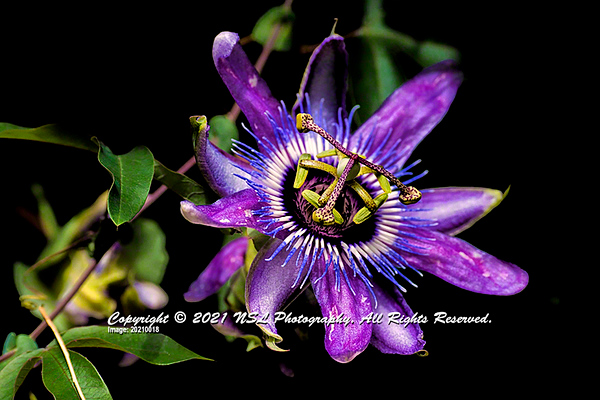 Blue Passion Flower at Chanticleer Gardens