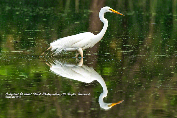 Great Egret in the impoundment pond at the John Heinz National Wildlife Refuge at Tinicum