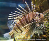 Pterois Volitans, a venomous fish, known as the Lionfish, found mostly in the Indo-Pacific at the National Aquarium, Baltimore
