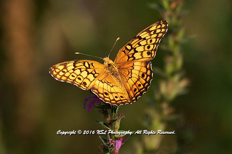 Silver Bordered Fritillary at the John Heinz National Wildlife Refuge at Tinicum