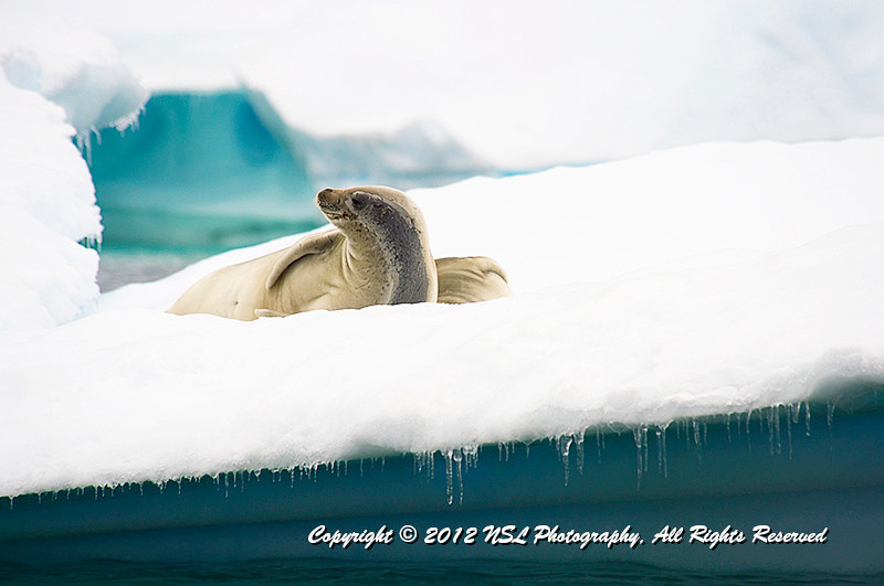 Crabeater Seal near the Vernadsky Research Base, a Ukrainian Antarctic Station at Marina Point on Galindez Island in the Argentine Islands, Antarctica.