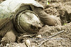 Common Snapping Turtle (Chelydra serpentina) all dug into its nest at the John Heinz National Wildlife Refuge at Tinicum