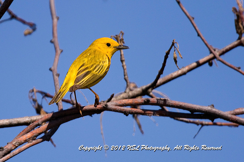 Yellow Warbler at John Heinz National Wildlife Refuge at Tinicum
