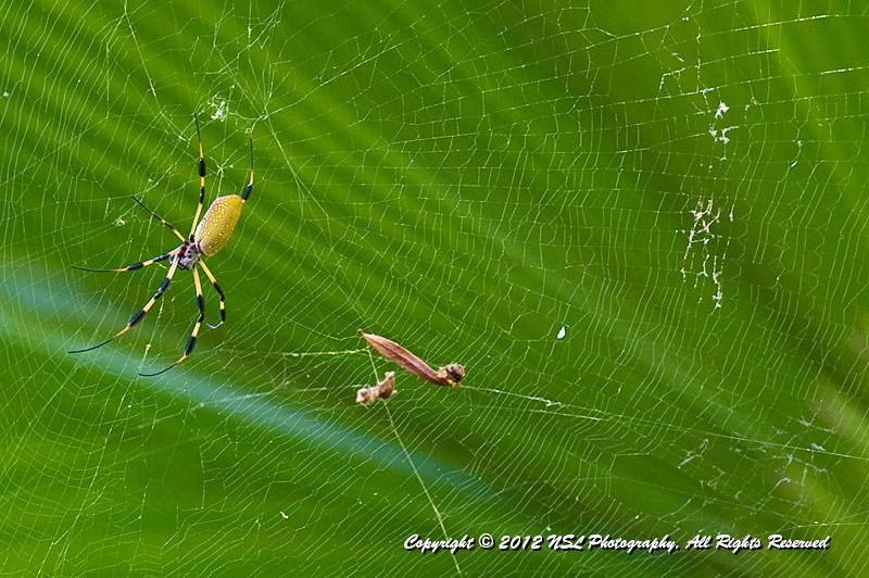 Nephila clavipes; Golden Silk Orbweaver, at Flamingo Gardens, Everglades Wildlife Sanctuary