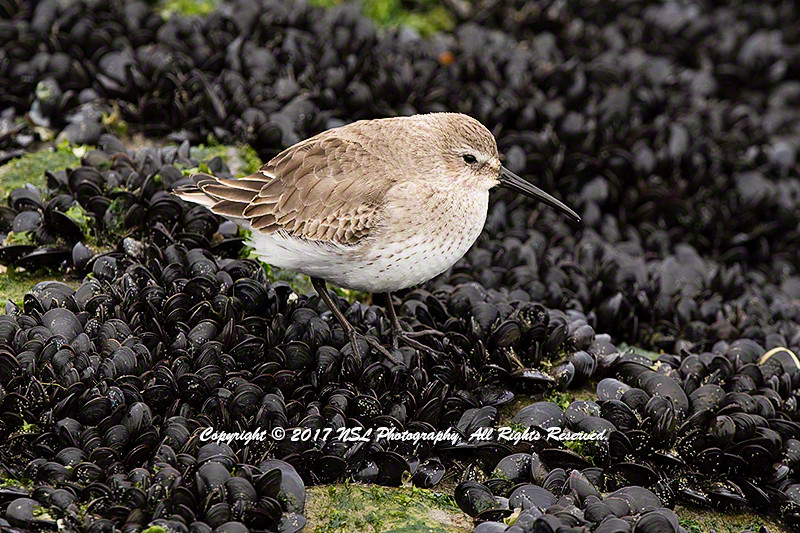 Dunlin at Barnegat Lighthouse State Park