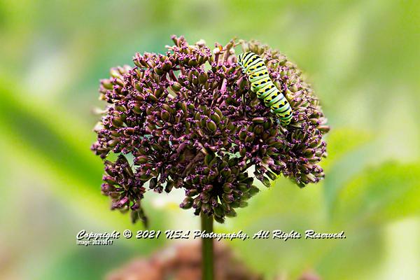 Caterpillar of Eastern Black Swallowtail on Purple Milkweed at Chanticleer Gardens