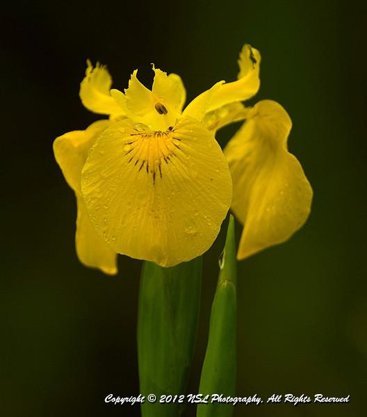 Yellow Water Flag (Iris Palustris) at John Heinz National Wildlife Refuge