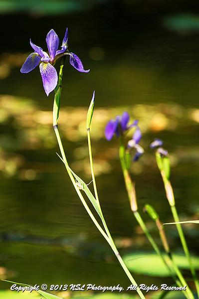 Blue Flag Iris (Iris versicolor) at Jenkins Arboretum & Gardens