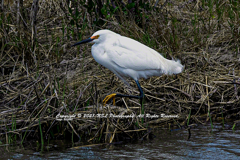 Adult Snowy Egret in Breeding Plumage at the Edwin B. Forsythe National Wildlife Refuge