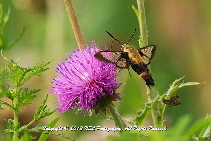 Clearwing Hummingbird Moth at John Heinz National Wildlife Refuge at Tinicum