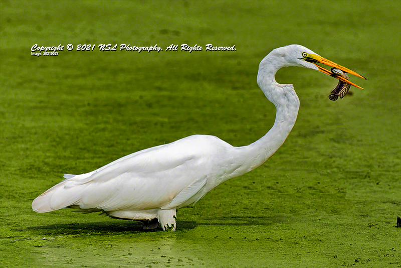 Great Egret (non-breeding) eating an immature northern snakehead fish (In the U.S., snakeheads are an invasive predatory species.) in the impoundment pond at the John Heinz National Wildlife Refuge at Tinicum