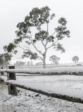 NSW 61 - Snow Gum