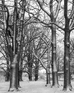 NSW 51 - Snow Elms