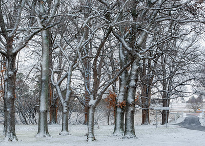 NSW 52 - Snow Elms 2