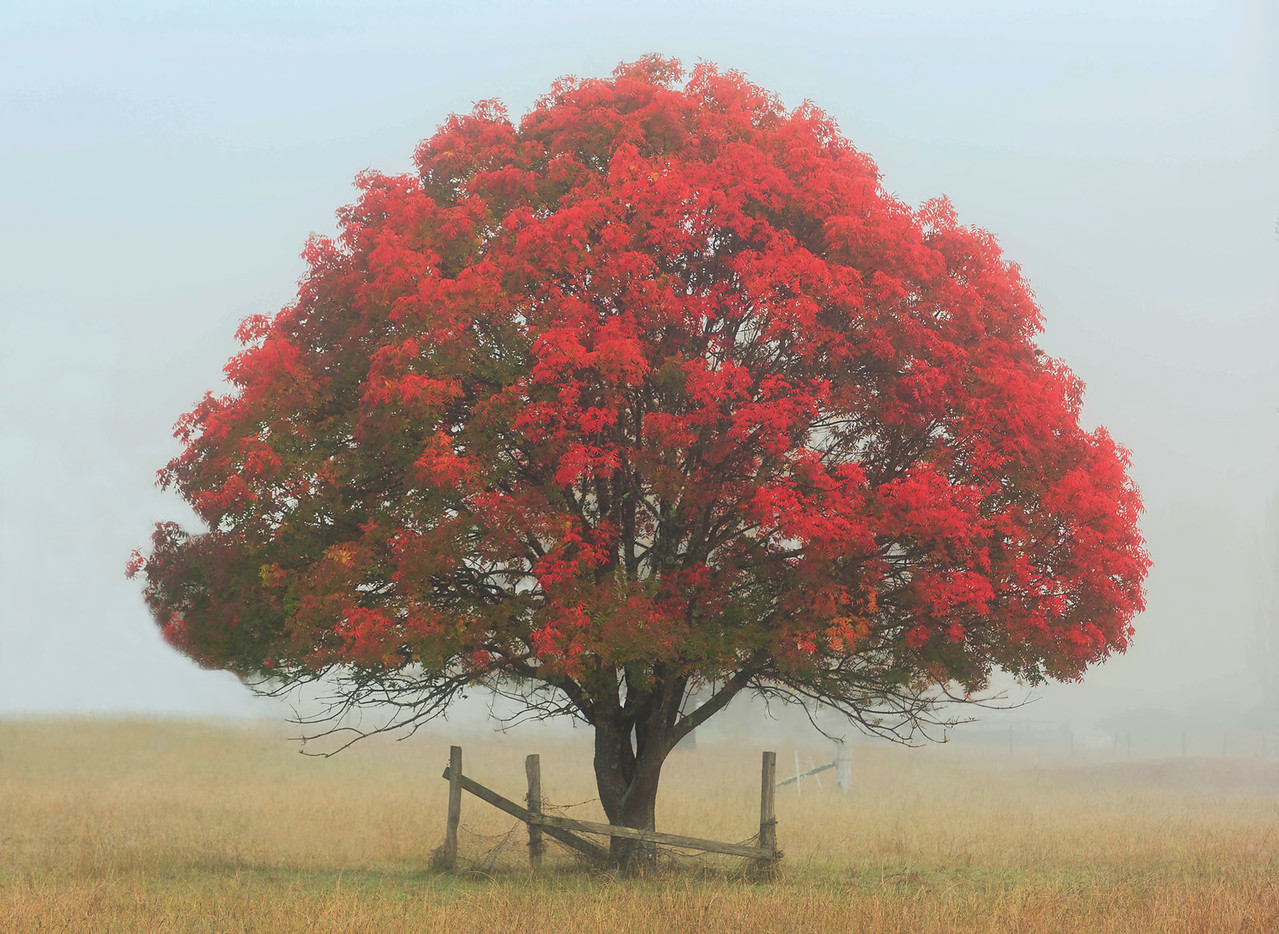 A 02 Red Tree in the Fog