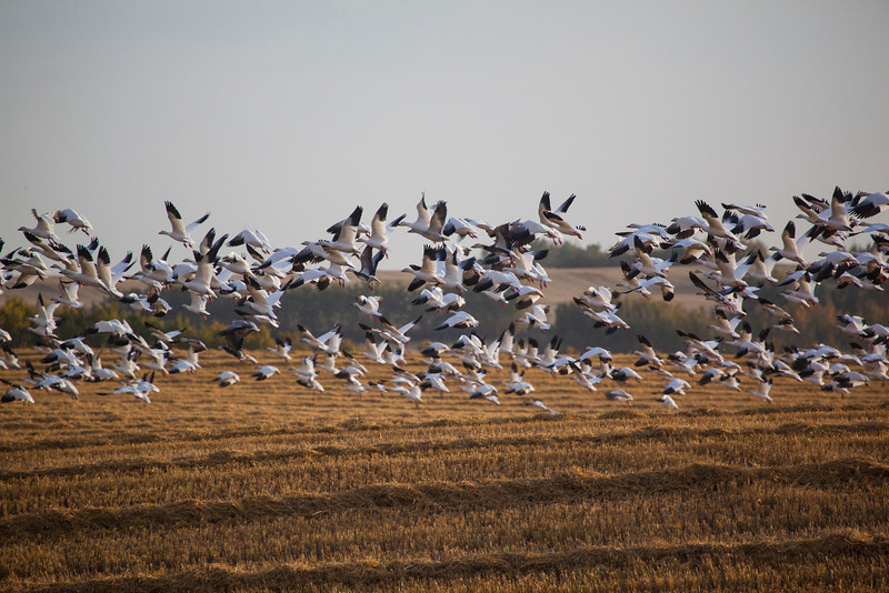 Region: Vermillion<br /> Photographer: Bill Trout<br /> Title: Fly Away<br /> Location:  Snow Geese flying south near Bens Lake
