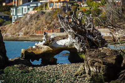 A better look at the roots of the eucalyptus tree that fell