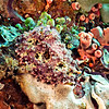 WARTY SEA HARE