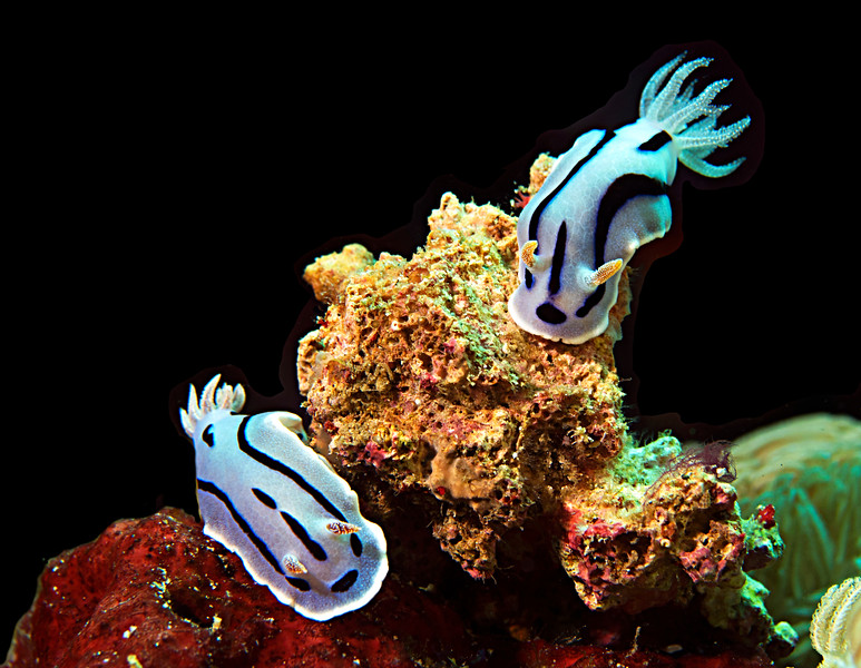 WILAN'S CHROMODORIS