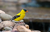 GOLD FINCH  (MALE)