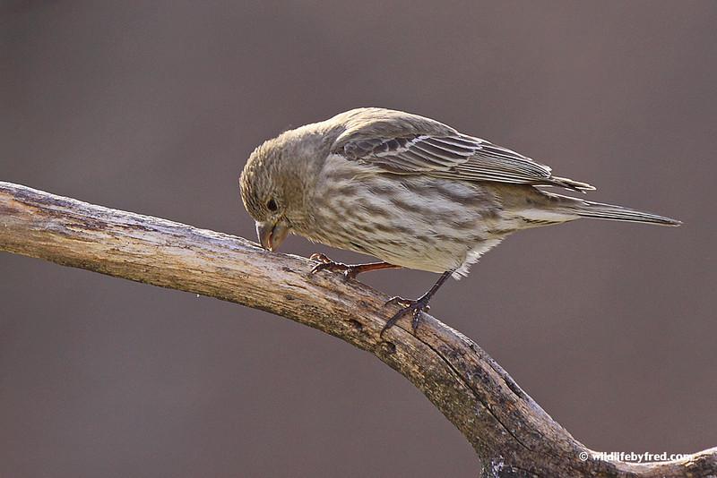 House Finch--Female