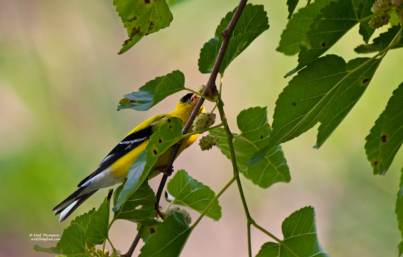 GOLD FINCH EATING A MULBERRY (MALE)
