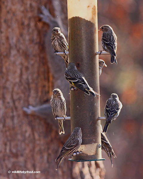 Pine Siskins at a feeder