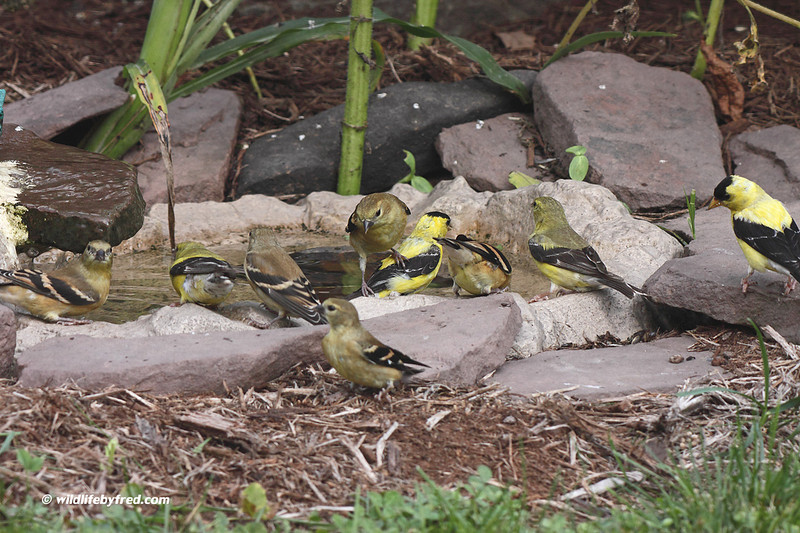 This is a 1 gallon birdbath that sits on the ground, it is amazing how many birds come to this for water. I think this photo shows how important water is to birds, and even a small amount of water can help them.