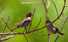 House Finches---Male & Fenale