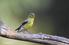 AMERICAN GOLDFINCH--MY 10,000 PHOTO ON THIS SITE