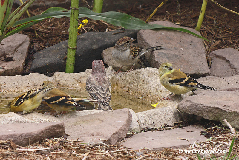 This photo shows how important water is to the birds, the bird bath pictured here only holds 1 gallon of water yet it still attracts a large amount of birds.
