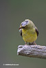 This Finch has a bad case of mites and that is why it has no feathers on the top of its head.