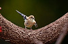 GOLD FINCH (JUVENILE TESTING ITS WINGS)