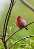 House Finch--Male