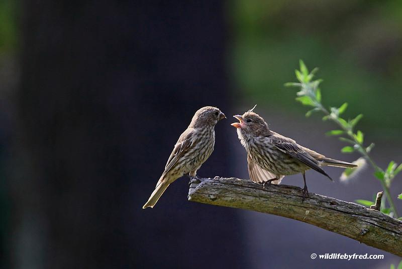 Female juvenile house finch begging for food