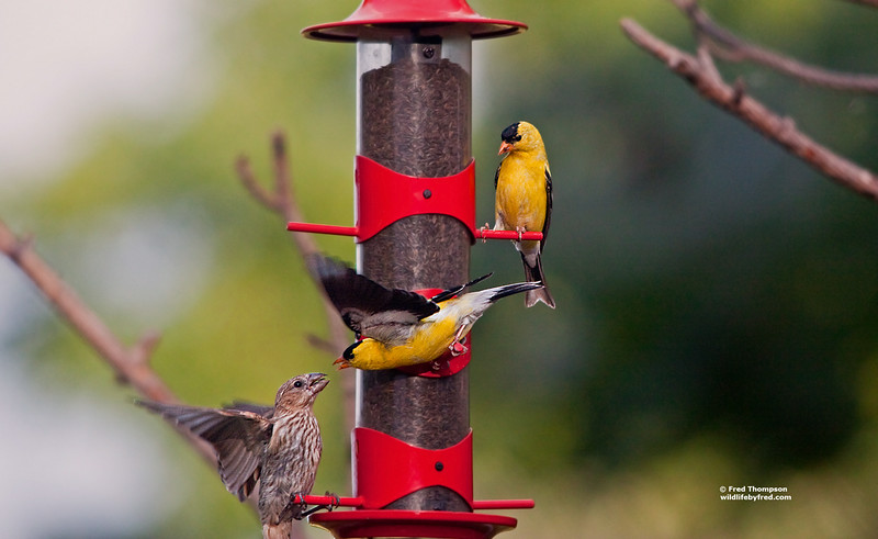 GOLD FINCH CONTROLLING THE FEEDER
