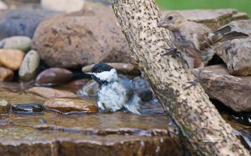 BLACK CAPPED CHICKADEE TAKING A BATH