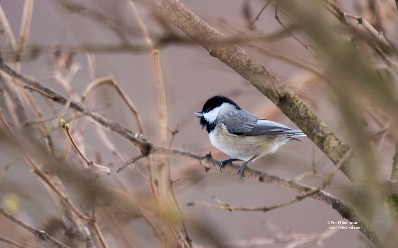 BLACK CAPPED CHICKADEE SINGING