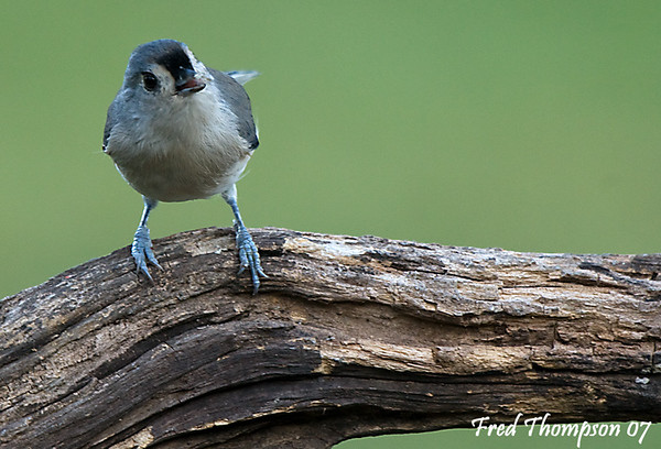 Tufted Tit Mouse