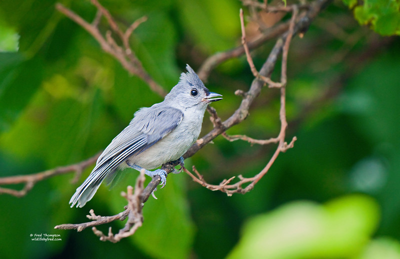 TUFTED TITMOUSE (JUVENILE)