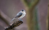 TUFTED TITMOUSE IN THE RAIN