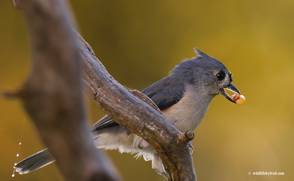 This Tufted Titmouse is returning from my neigbors field with a kerrnel of corn. This is going on all day right now, the birds are eating good before the corn is harvested.